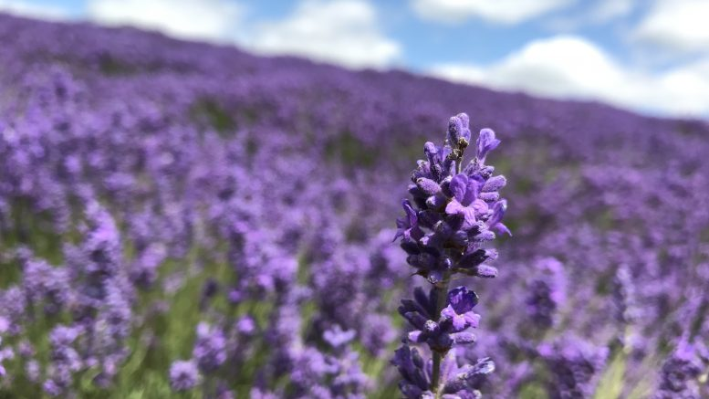 Cotswold Lavender, Snowshill, Gloucestershire